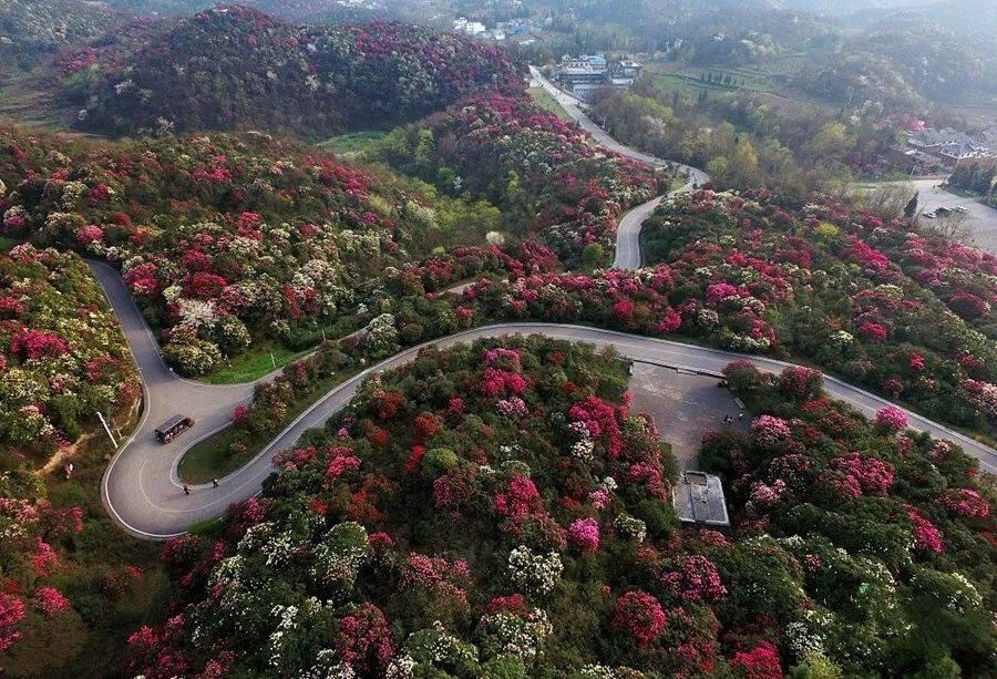 Bai Li Ao,azalées rhododendrons