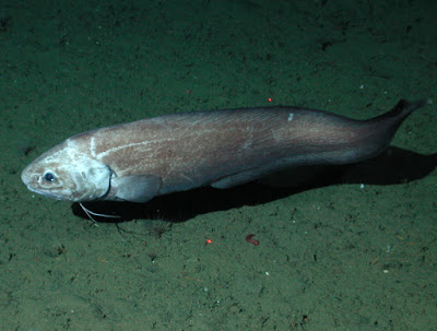 Giant Cusk Eel