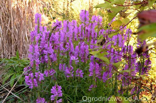 Odętka wirginijska, Ogród, Jesień