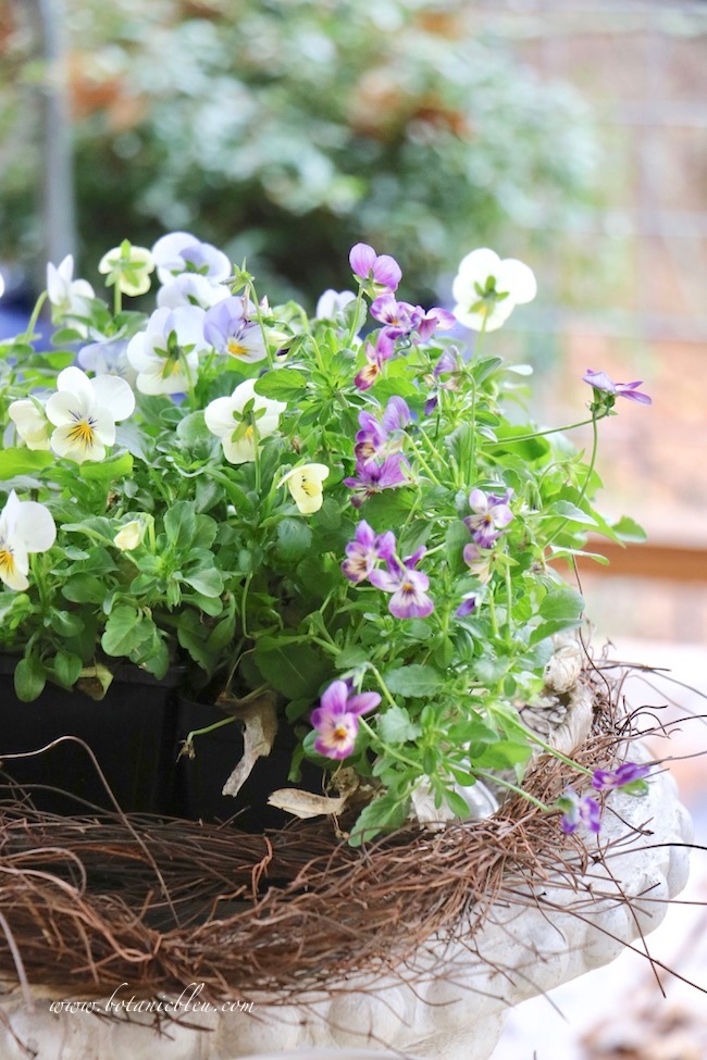winter-porch-violas-bloom