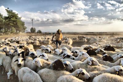 pastor-ovejas