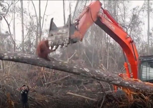 Another BBC narrative caught the appalling minute an orangutan encountered a bulldozer