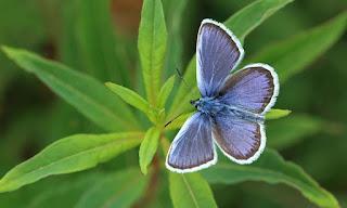 الفراشة الزرقاء الفضية