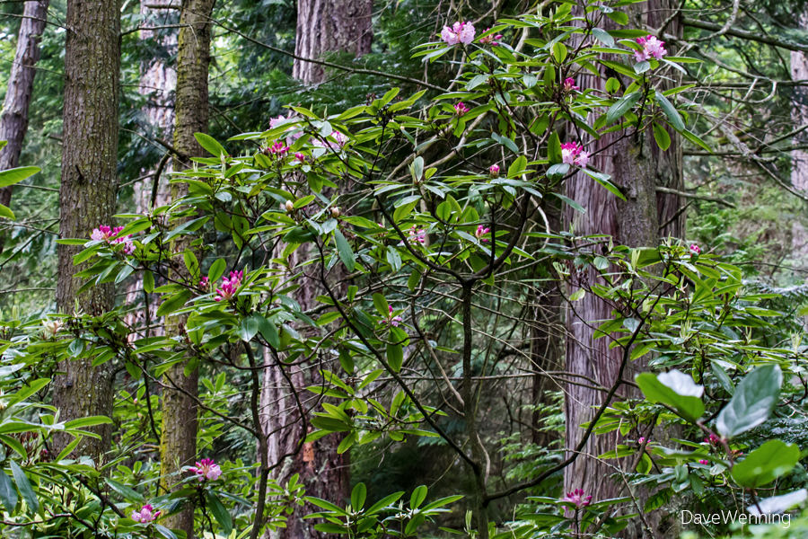 Pacific Rhododendron (R. macrophyllum)