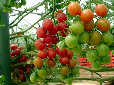 about cherry tomatoes