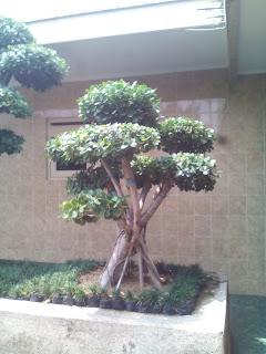 Jual murah bonsai beringin dolar