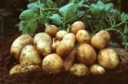 bisnis bertanam kentang