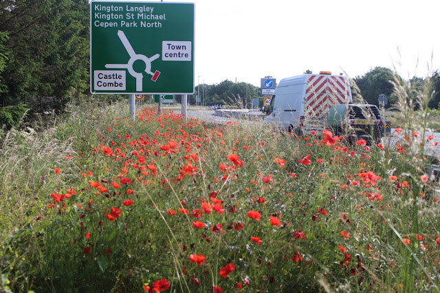 roadside poppies along the A350 in Chippenham