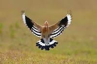 Yere konmak üzere olan kanatları açık bir çavuş kuşu