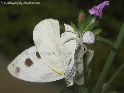 White Crab Spider Picture