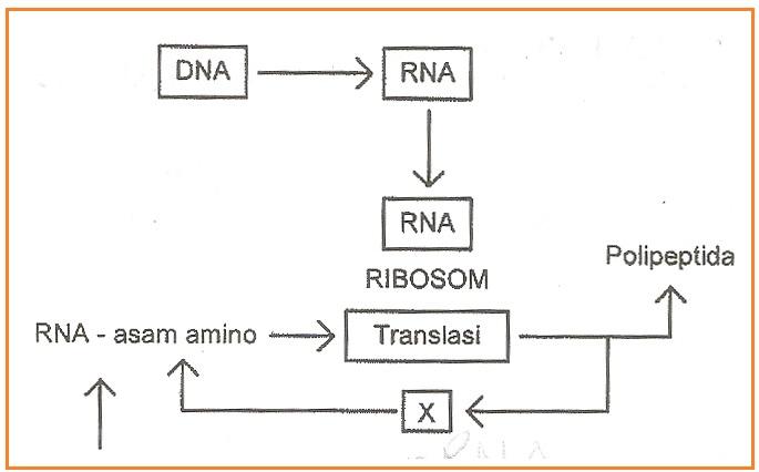 Biologi gonzaga wue sintesa protein sma gonzaga diagram langkah sintesis protein ccuart Image collections
