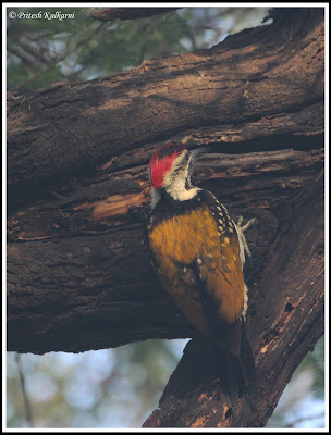 Golden backed Woodpecker, Bharatpur