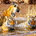 Visit Ranthambore and feel the nature with scattered wildlife with a very close angle