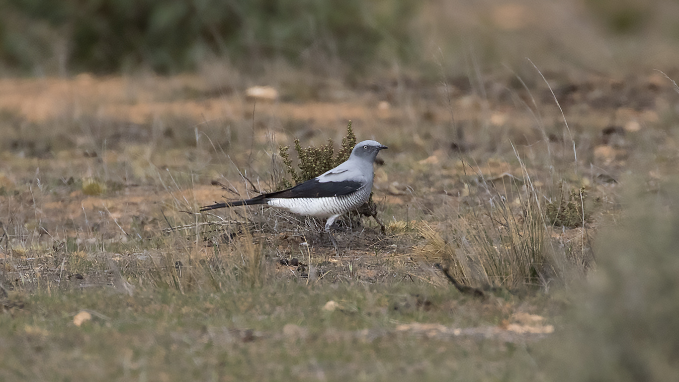 The Most Ground Cuckoo Shrikes Ive Seen In Any Given Year There Seemed To Be A Lot Out West