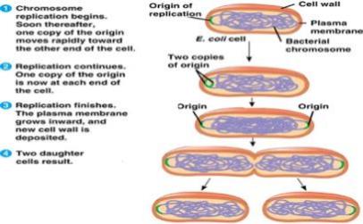 Proses Reproduksi Escherichia Coli