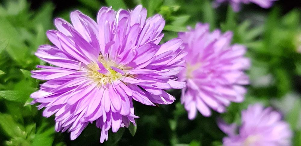 ดอกของต้นมาร์กาเร็ต