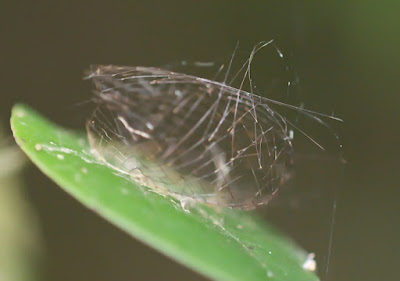 Pupal cage of lichen moth (Cyana sp, Arctiinae)