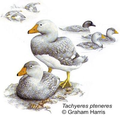 Quetro austral Tachyeres pteneres