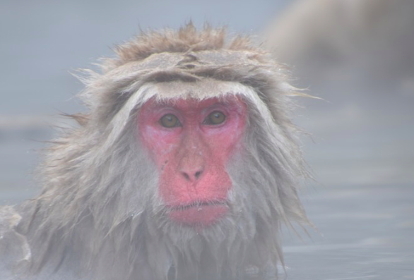 Snow Monkey Nagano