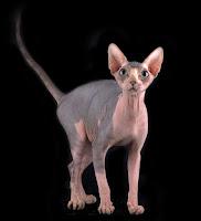 Harga Ras Kucing Sphynk