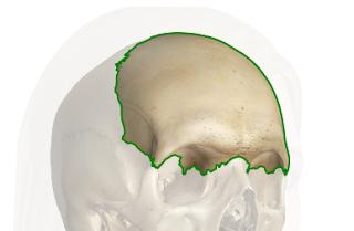 Hueso frontal (Craneo)
