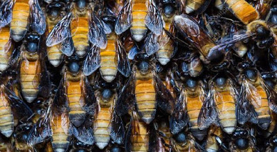 gambar lebah dorsata