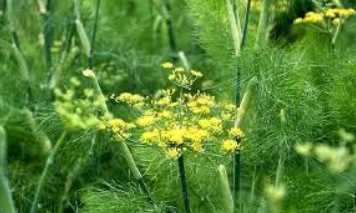 Fennel benefits for health