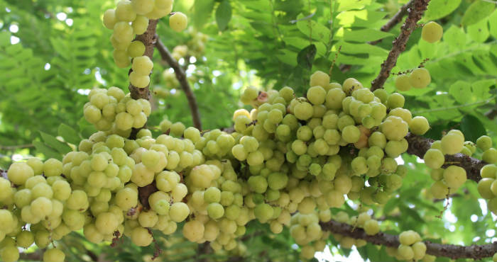 daun daunan apotik hidup untuk herbal daun ceremai