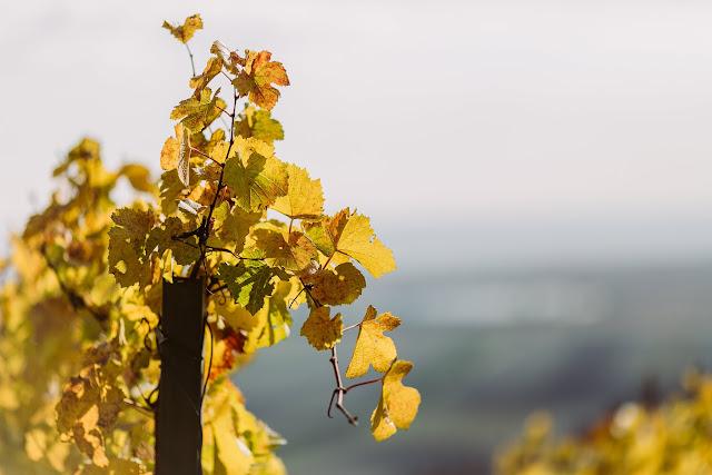 Neusiedlersee, Pomponetti, Weingut Hillinger
