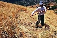 Ekin biçerek hasat yapan bir çiftçi
