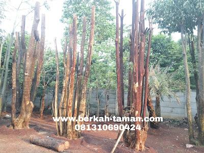 jual pohon pule besar