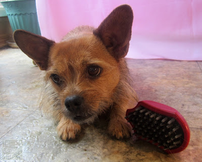 Jada with a CHI for Dogs Ergo Soft Grip Massage Brush