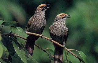 Ternak Burung Cucak Rawa