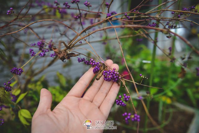 Real plant fruits in purple