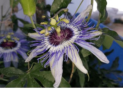 Passiflora çiçeğinin görüntüsü