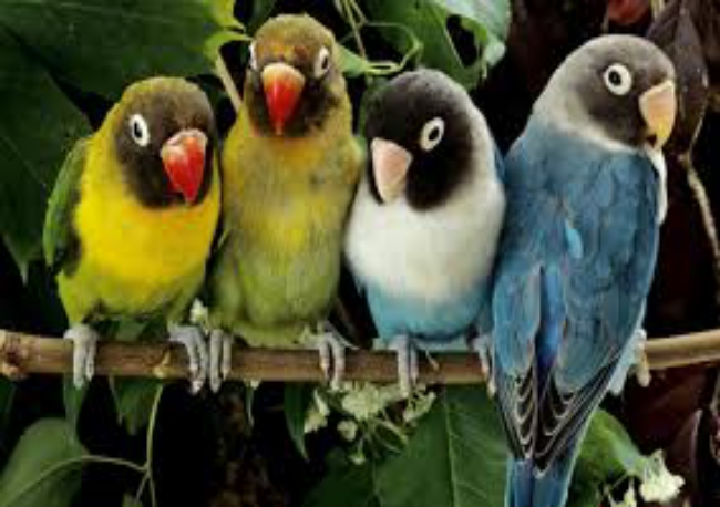 BEAUTIFUL AND LOVELY LOVE BIRDS IMAGES WALLPAPERS HD FOR