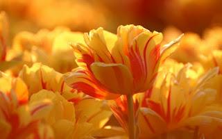 tulipanes-de-petalos-amarillos
