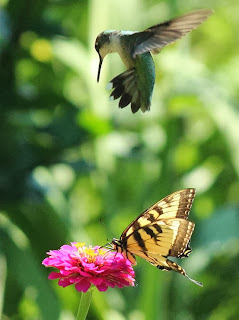 "Hummingbird: ""Oops! Miss butterfly is already there in line"""