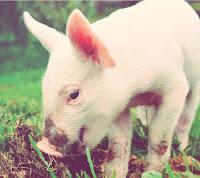 http://www.veganismo.org.br/p/suinos.html