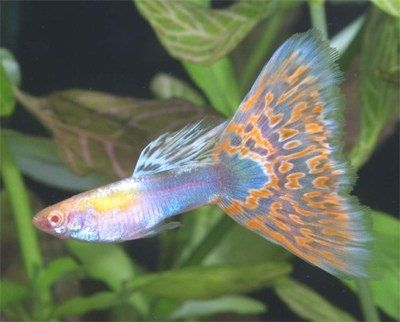 Gambar Dan Foto Ikan Guppy Mosaic - RREA Platinum Red Mosaic