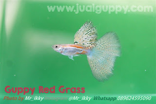 Jual Guppy Red Grass,  Harga Guppy Red Grass,  Toko Guppy Red Grass,  Diskon Guppy Red Grass,  Beli Guppy Red Grass,  Review Guppy Red Grass,  Promo Guppy Red Grass,  Spesifikasi Guppy Red Grass,  Guppy Red Grass Murah,  Guppy Red Grass Asli,  Guppy Red Grass Original,  Guppy Red Grass Jakarta,  Jenis Guppy Red Grass,  Budidaya Guppy Red Grass,  Peternak Guppy Red Grass,  Cara Merawat Guppy Red Grass,  Tips Merawat Guppy Red Grass,  Bagaimana cara merawat Guppy Red Grass,  Bagaimana mengobati Guppy Red Grass,  Ciri-Ciri Hamil Guppy Red Grass,  Kandang Guppy Red Grass,  Ternak Guppy Red Grass,  Makanan Guppy Red Grass,  Guppy Red Grass Termahal,  Adopsi Guppy Red Grass,  Jual Cepat Guppy Red Grass,  Kreatif Guppy Red Grass,  Desain Guppy Red Grass,  Order Guppy Red Grass,  Kado Guppy Red Grass,  Cara Buat Guppy Red Grass,  Pesan Guppy Red Grass,  Wisuda Guppy Red Grass,  Ultah Guppy Red Grass,  Nikah Guppy Red Grass,  Wedding Guppy Red Grass,  Flanel Guppy Red Grass,  Special Guppy Red Grass,  Suprise Guppy Red Grass,  Anniversary Guppy Red Grass,  Moment Guppy Red Grass,  Istimewa  Guppy Red Grass,  Kasih Sayang  Guppy Red Grass,  Valentine  Guppy Red Grass,  Tersayang Guppy Red Grass,  Unik Guppy Red Grass,