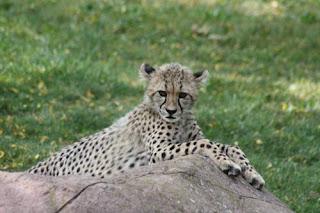 Cutey Cheetah.