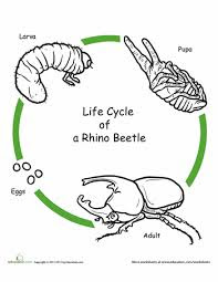 Rhinoceros beetle Life Cycle Coloring Sheet