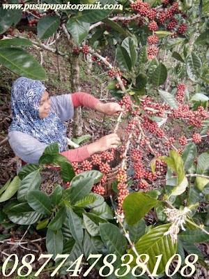meningkatkan buah kopi, perkebunan kopi