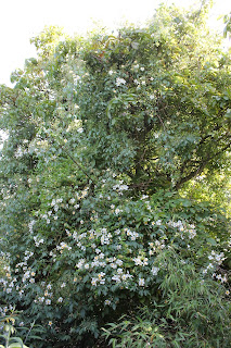 Himalayan climber rosa filiipes 'Kiftsgate' in walnut tree