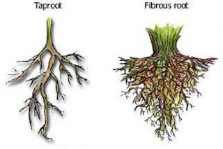 Jenis - jenis akar tunggang dan serabut - berbagaireviews.com