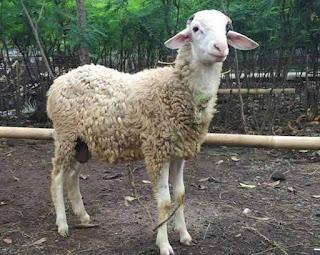jumlah kambing dalam ibadah aqiqah