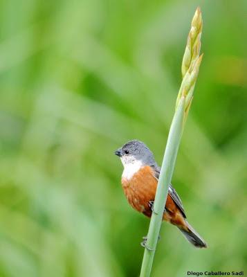 argentinian birds Marsh Seedeater