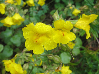 Common monkeyflower