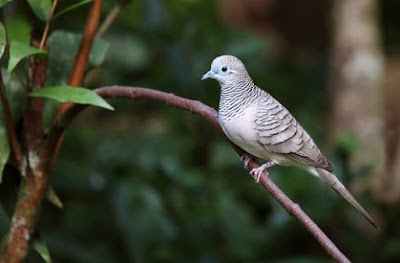 Mengetahui Lebih Dekat Tempat Sarang Burung Perkutut Di Alam Bebas